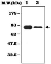 MAB0794 - Alpha-1B-glycoprotein / A1BG