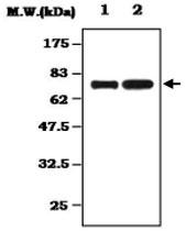 MAB0821 - Alpha-1B-glycoprotein / A1BG