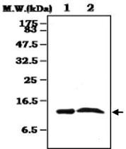 MAB0822 - Transthyretin / Prealbumin