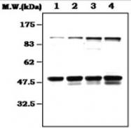 MAB0828 - NF-kB p105 / p50