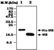MAB0842 - Myoglobin