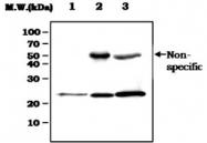 MAB0845 - Glutathione peroxidase 1 / GPX1