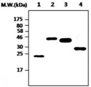 MAB0852 - 6xHistidine Epitope Tag