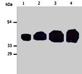 MAB0862 - Cytokeratin 19