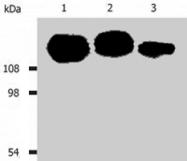 MAB0883 - CD29 / Integrin beta-1