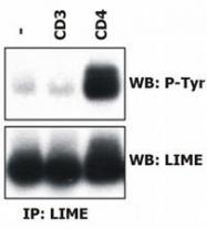 MAB0960 - LIME1