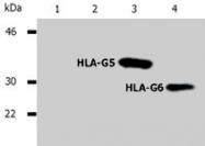 MAB0965 - HLA class I  alpha G / HLA-G