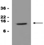 MAB1058 - CD337