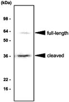 MAB1061 - Angiopoietin-5