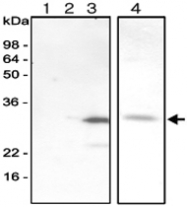 MAB1065 - Adenylate kinase 3 / AK3