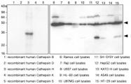 MAB1066 - Cathepsin H