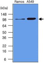 MAB1081 - CD282 / TLR2