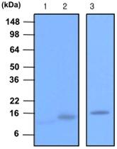 MAB1097 - VAMP-2 / Synaptobrevin-2