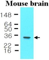 MAB1125 - 14-3-3 protein epsilon