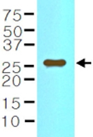 MAB1130 - Interleukin-33 (IL33)