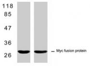 MAB1296 - c-Myc Epitope Tag (EQKLISEEDL)
