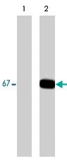 MAB1365 - Paxillin /  PXN