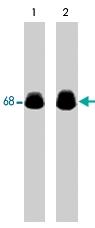 MAB1366 - Paxillin /  PXN