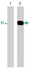 MAB1374 - STAT1
