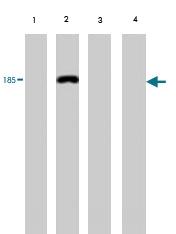 MAB1727 - Vitellogenin