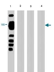 MAB1728 - Vitellogenin