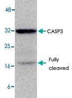 MAB1749 - Caspase-3