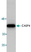 MAB1750 - Caspase-4