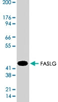 MAB1756 - CD178 / Fas Ligand
