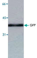 MAB1765 - GFP