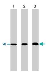 MAB1802 - Bcl-2-like 1