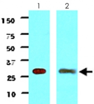 MAB2048 - 14-3-3 protein gamma