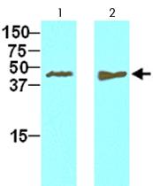 MAB2055 - Tomoregulin-2 / TMEFF2
