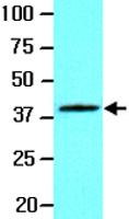 MAB2063 - WNT3A