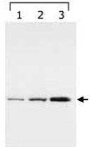 MAB2288 - 14-3-3 protein gamma