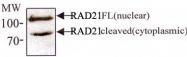 MAB2300 - RAD21