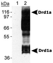 MAB2314 - Dopamine D1 receptor