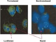 MAB2322 - Luciferase