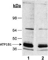 MAB2323 - ATP1B1