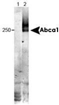 MAB2326 - ABCA1