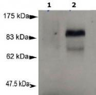 MAB2327 - PRDM1 / BLIMP1