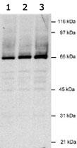 MAB2328 - LANA2 / vIRF-3