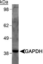 MAB2344 - GAPDH