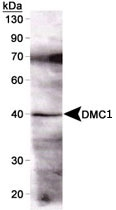 MAB2349 - DMC1 / LIM15