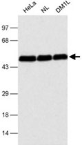 MAB2351 - CUGBP1
