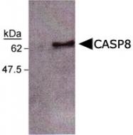 MAB2358 - Caspase-8 / FLICE
