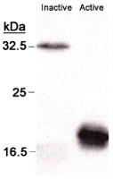 MAB2360 - Caspase-3