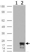 MAB2366 - IAP4 / BIRC5