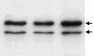 MAB2502 - Lamin-A/C (LMNA)
