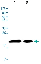 MAB2693 - CDKN1A / p21WAF1