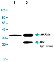 MAB2696 - MAP2K6